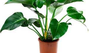 Филодендроны: уход в домашних условиях, пересадка и размножение