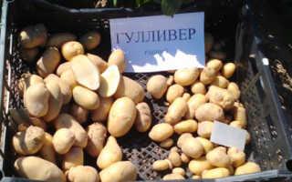 Характеристика картофеля Гулливер