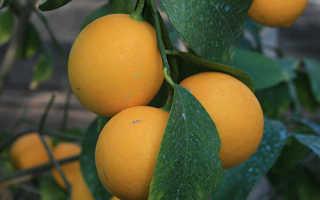 Выращивание Ташкентского лимона