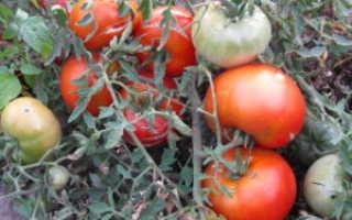 Сорт томатов с морковными листьями 'Carrot' – JurnalAgronoma