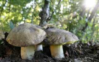 Описание полубелого гриба