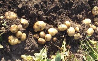 Характеристика картофеля сорта Метеор