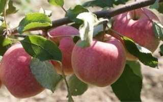 Сортовые особенности яблони Сладкая нега
