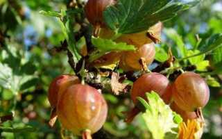 Крыжовник без шипов (мишки): сорта для средней полосы России, самый сладкий, крупноплодный, посадка и уход