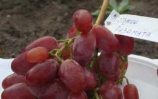 Выращивание винограда Потомок Ризамата