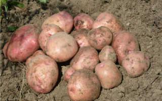 Характеристика сорта картофеля Снегирь