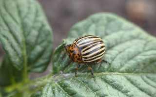 Способы борьбы с колорадским жуком на картофеле народными средствами