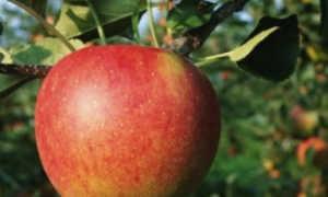 Описание сорта Яблоня Марина: фото яблони, важные качества, урожайность с дерева