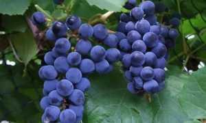 Виноград. Загадка Шарова: характеристика и описание, посадка и уход за посевами