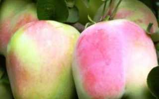 Яблоня Память Есаула: отзывы садоводов, описание сорта с фото