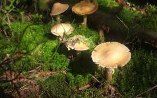 Описание гриба Кольчатый колпак