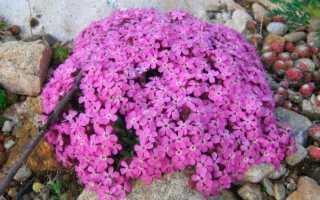 Лекарственное мыло (Saponaria): посадка и уход в полевых условиях, выращивание из семян