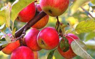 Правила посадки яблонь на Урале