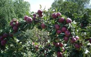 Сорта колоновидной яблони для Сибири