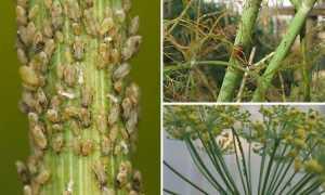 Вредители фенхеля: фото и способы борьбы с ними, чем питаются насекомые (клопы, клопы и т. Д.)