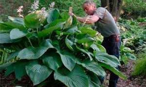 Хоста: размножение, как размножить хосту делением куста, листья