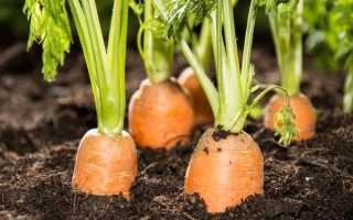 Какие сорта моркови подходят для Сибири