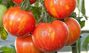 Томат Тигровый: описание сорта, характеристика, оценка урожайности, фото