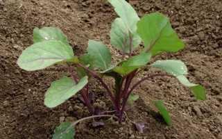 Посадка брюссельской капусты на рассаду