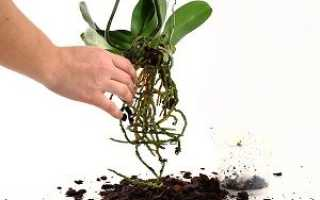 Подготовка и пересадка цветущей орхидеи