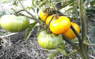 Характеристики и описание разнообразия томата; Оранжевый джаз