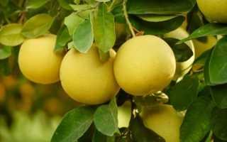 Где растет грейпфрут и как его выбрать