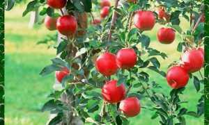 Как сделать фрукт яблони после посадки каждый год