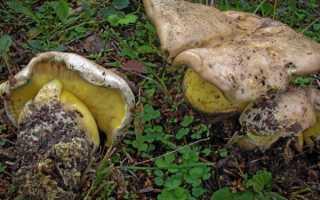 Описание коренящегося боровика