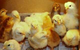 Домашнее выращивание цыплят: уход и питание для новичков, здоровые однодневные несушки, выращивание в инкубатории, цыплята Lohman Braun; Интернет-портал по сельскому хозяйству