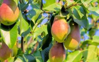 Характеристика груши сорта Перун