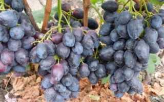 Виноград Фурор: описание и характеристика сорта, особенности ухода и фото
