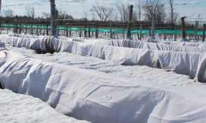 Зимнее укрытие винограда в Подмосковье: подготовка, выбор материалов, пошаговая инструкция