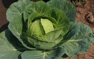 Характеристика капусты сорта Центурион f1