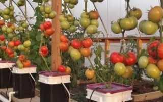 Как выращивать помидоры на гидропонике