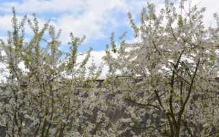 Рекомендации по уходу за грушей весной