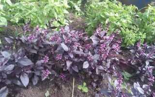 С чем сажать базилик рядом: совместимость с другими растениями в саду, на грядке и в теплице, с огурцами, с которыми сочетается, томатами