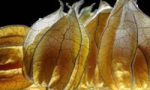Ананас физалис, описание, характеристика и отзывы, а также специфика выращивания