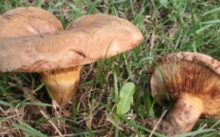 Опасность употребления грибов свинушек