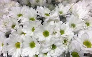 Хризантемы; Бакарди; (26 фото): описание сорта кустовых хризантем, белых и желтых сортов Бакарди, посадка и уход