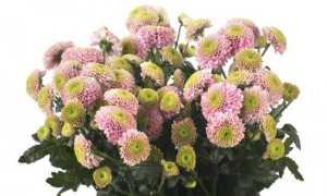 Хризантема сантини, описание и фото, размножение и выращивание, полезные советы