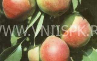 Сорт груши Отрадненская