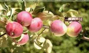 Алтайская мемориальная яблоня: описание сорта и характеристики