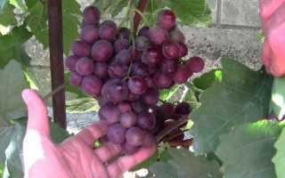 Выращивание винограда Сенатор