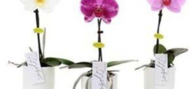 Уход за сортом орхидеи Синголо