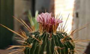 Удобрения для кактусов: состав удобрений; Агрикола, Бона Форте и Покон