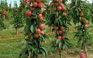 Популярные сорта колоновидных яблонь