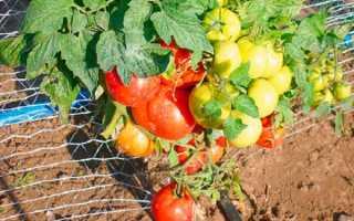 Любимый дачный томат: описание и характеристика сорта, отзывы садоводов с фото