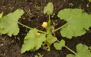 Выращивание кабачков в бочке