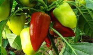 Как выращивать перец в земле и в теплице?
