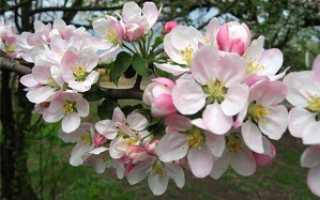 Как вызвать цветение у яблони